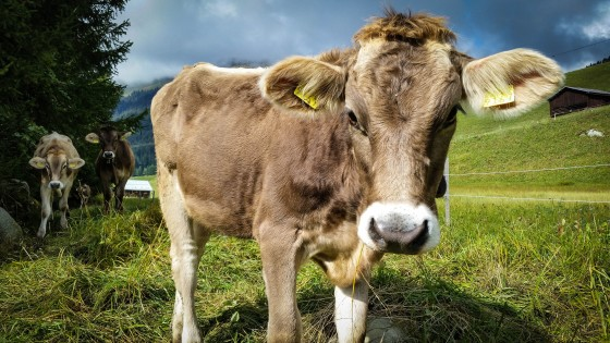 Spasstrail mit Kuh melken am Simulator